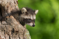Young Raccoon (Procyon lotor) Pokes Head out of Hole Stock Photo