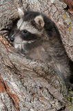 Young Raccoon (Procyon lotor) Pokes Head out of Knothole Stock Image