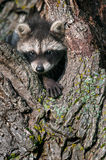 Young Raccoon (Procyon lotor) Pokes Head and Paw out of Tree Stock Image