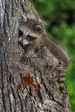 Young Raccoon Procyon lotor Sits on Side of Tree Royalty Free Stock Images