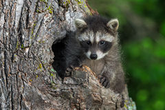 Young Raccoon (Procyon lotor) Sits Up in Knothole Royalty Free Stock Image