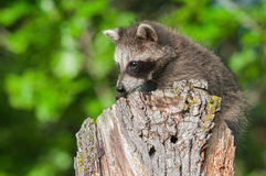 Young Raccoon (Procyon lotor) on Stump Stock Image