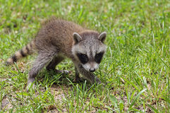 Young Raccoon Stock Photos