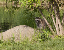 Young Raccoon By River Stock Photos
