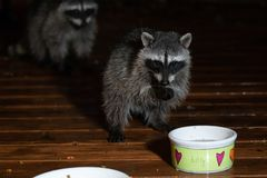 Young raccoon standing on two feet drinking royalty free stock photos