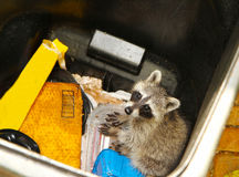 Young raccoon stuck in a garbage container royalty free stock photography