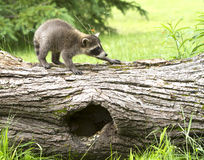 Young Raccoon Walking along a Fallen Tree Stock Images