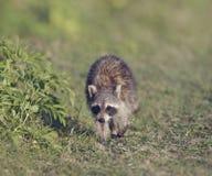 Young Raccoon Walking Stock Photography