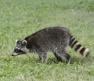 Young Raccoon Stock Image