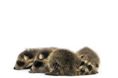 Young Raccoons Stock Image