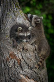 Young Raccoons Procyon lotor Clamber On Tree Stock Image