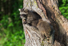 Young Raccoons (Procyon lotor) Crawl In and Out of Knothole Royalty Free Stock Images