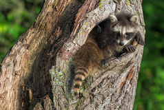 Young Raccoons (Procyon lotor) Squeeze to Fit in Knothole Royalty Free Stock Images