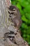 Young Raccoons (Procyon lotor) On and In Tree Royalty Free Stock Photography