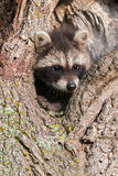 Young Raccoons (Procyon lotor) Wedged in Tree Stock Image