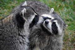 Young Raccoons Stock Photography