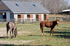 Young Race Horses. One Year Old Race Horses in their Pasture Stock Photos