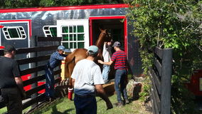 A young racehorse being loaded into a trailer at a farm in florida