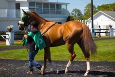 A young racehorse being walked before a race at tampa Royalty Free Stock Image