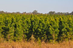 Young radiata pine plantation. This is a young pine plantation at around 3 years old. They will not be ready for harvest for 12 to 20 years depending on location Stock Photos