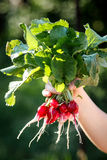 Young radish in the arm royalty free stock image
