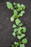 Young radish  in the garden Royalty Free Stock Photography