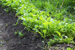 Young radish harvest row in the garden, green young leaves of ra. Dishes harvest growing in organic vegetables garden Stock Image