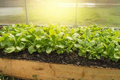 Young radish plants in the greenhouse, the concept of growing organic vegetables indoors all year round. Seedling garden spring soil crop fresh agriculture stock photography