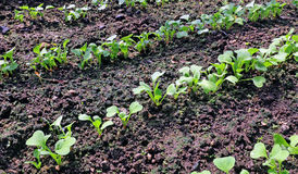 Young radish seedlings. In the garden in early spring Stock Image