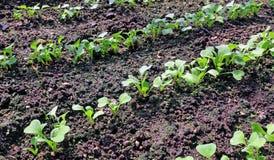 Young radish seedlings Stock Image