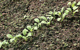 Young radish seedlings. In the garden in early spring Stock Photography