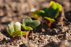 Young radishes growing in the garden in early spring.  Royalty Free Stock Photography