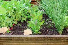 Young radishes, lettuce and onions growing in a garden royalty free stock photography