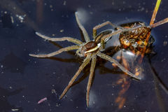 Young Raft Spider (Dolomedes fimbriatus) Stock Photography