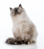 Young ragdoll cat. Ragdoll kitten looking up on white background royalty free stock images