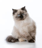 Young ragdoll cat. Ragdoll kitten on white background stock photo