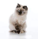 Young ragdoll cat. Sitting one white background royalty free stock photo
