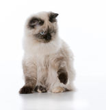 Young ragdoll cat Stock Image