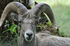 Young Ram. With large horns looking sincere Stock Images