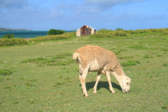 Young ram eating grass, Rodrigues Island Stock Images