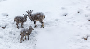 Young rams under the snow stock image