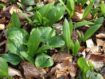 Young Ramsons and Arum in the beech forest Royalty Free Stock Photography