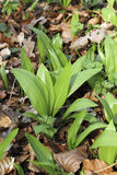 Young Ramsons in the beech forest Stock Photos
