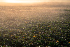 Young rape field in the morning sun Royalty Free Stock Photo
