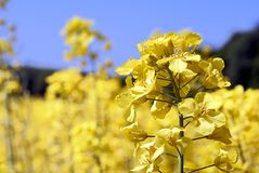 Young rapeseed. Yellow rapeseed on the field stock photos