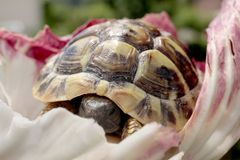 Young rare terrestrial turtles in wrapped in a salad leaf. Rare terrestrial turtles in a garden stock photography