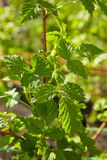 Young branch of raspberries early in spring. Gardening royalty free stock photo
