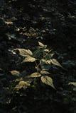 Young raspberry bush Royalty Free Stock Photo