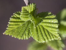 Young raspberry leaves Royalty Free Stock Photography