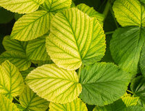 Young raspberry leaves with different shade of green Royalty Free Stock Image